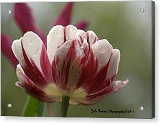 A Tulip After The Rain Acrylic Print
