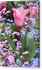A Tulip At Luxembourg Gardens, Paris Acrylic Print by William Sutton