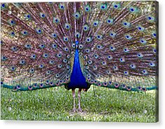A Vargos Peacock Acrylic Print by Tim Stanley