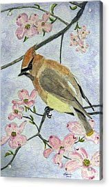 A Waxwing In The Dogwood Acrylic Print