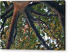 A Web Of Branches Acrylic Print by Kiros Berhane