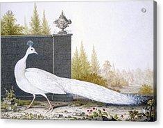 A White Peahen Acrylic Print