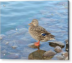 A Wild Duck Standing On A Rock Acrylic Print by Michaline  Bak