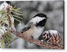 A Winter Perch Acrylic Print