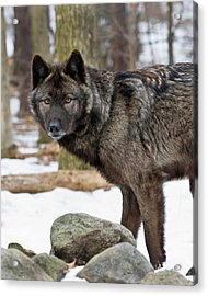 A Wolf's Intense Focus Acrylic Print