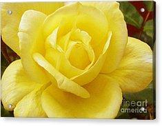 A Yellow Rose Acrylic Print