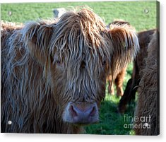 A Young Highland Cow Gazing Intently 0838 Acrylic Print by Colin Munro