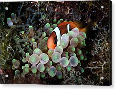 A Young Red And Black Anemonefish Acrylic Print