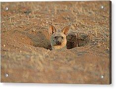 Aardwolf At Den. Damaraland District, Namibia Acrylic Print by Daryl Balfour
