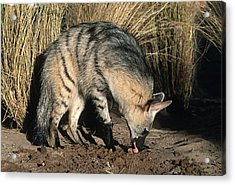 Aardwolf (proteles Cristatus) Hunting, Side View, Africa Acrylic Print by Martin Harvey