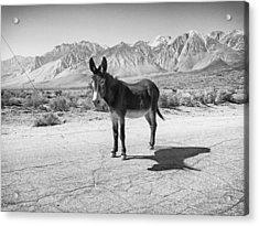 Aberdeen Donkey Acrylic Print