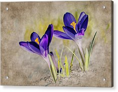 Abstract Crocus Background Acrylic Print by Jaroslaw Grudzinski