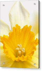 Abstract Daffodil Acrylic Print
