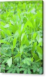 Acacia Seedlings Acrylic Print by Scubazoo/science Photo Library