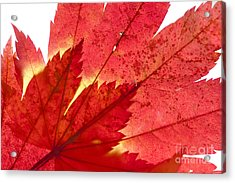 Acer From Beneath Acrylic Print by Anne Gilbert
