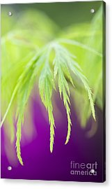 Acer Leaves Acrylic Print by Tim Gainey