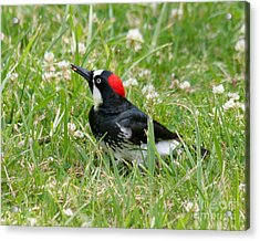 Acrylic Print featuring the photograph Acorn Woodpecker Foraging by Bob and Jan Shriner