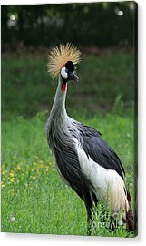 African Crowned Crane #3 Acrylic Print