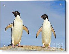 Adelie Penguin Duo Acrylic Print