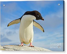 Adelie Penguin Flapping Wings Antarctica Acrylic Print