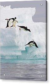 Adelie Penguins Diving Off Iceberg Acrylic Print by Suzi Eszterhas