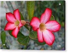 Adenium Flower Acrylic Print by Doug Grey