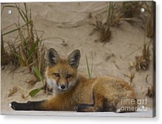 Adorable Baby Fox Acrylic Print