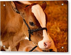 Adorable Calf Acrylic Print