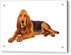 Adorable Large Bloodhound Puppy Acrylic Print