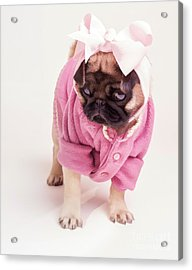 Adorable Pug Puppy In Pink Bow And Sweater Acrylic Print by Edward Fielding