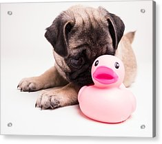 Adorable Pug Puppy With Pink Rubber Ducky Acrylic Print by Edward Fielding