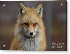 Adorable Red Fox Acrylic Print