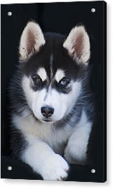 Adorable Siberian Husky Sled Dog Puppy Acrylic Print