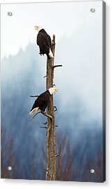 Adult Bald Eagles  Haliaeetus Acrylic Print by Doug Lindstrand