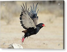 Adult Bateleur Eagle Taking Off Acrylic Print by Tony Camacho/science Photo Library