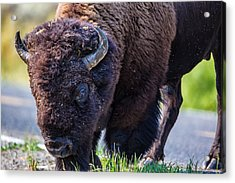 Adult Bison Staring Acrylic Print by Andres Leon