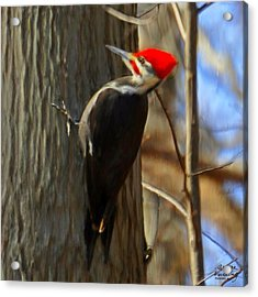 Adult Male Pileated Woodpecker Acrylic Print