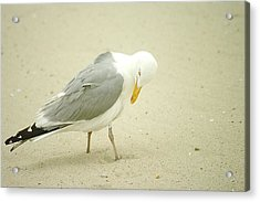 Acrylic Print featuring the photograph Adult Seagull Preening by Suzanne Powers