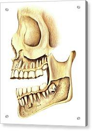 Adult Teeth Acrylic Print by Asklepios Medical Atlas