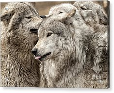 Acrylic Print featuring the photograph Adult Timber Wolf by Wolves Only