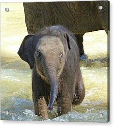Adventurous Baby Asian Elephant  Acrylic Print by Margaret Saheed