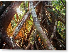 Aerial Tree Roots Acrylic Print