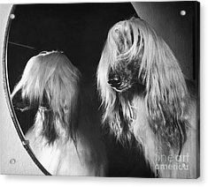 Afghan Hound Acrylic Print by ME Browning