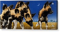 Africa By The Pack... Acrylic Print by Will Bullas
