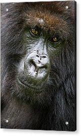 Africa Rwanda Female Mountain Gorilla Acrylic Print