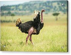 Africa, Tanzania, Male Ostrich Acrylic Print