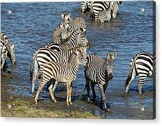 Africa, Tanzania, Serengeti National Acrylic Print by Joe and Mary Ann Mcdonald