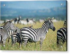 Africa, Tanzania, Zebras Acrylic Print