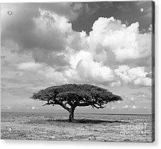 African Acacia Tree Acrylic Print by Chris Scroggins