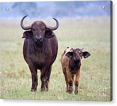 Acrylic Print featuring the photograph African Buffalo And Calf by Chris Scroggins